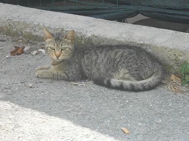 Gatto di Sant'Olcese