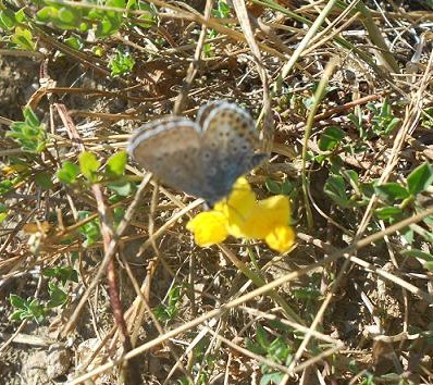 Farfalla (5)