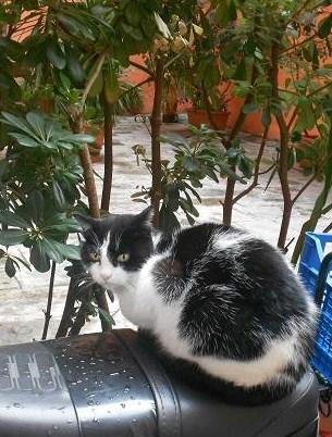 Gatto del Carmine