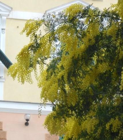 Mimosa (5)