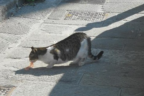 Gatto di caruggi