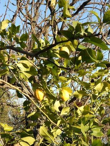 Limoni (3)