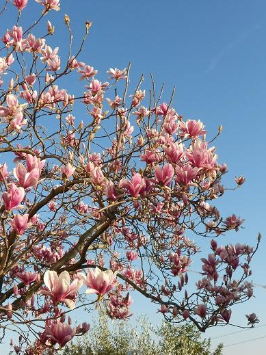 La magnolia l albero che cerca l infinito dear miss for Albero con fiori blu