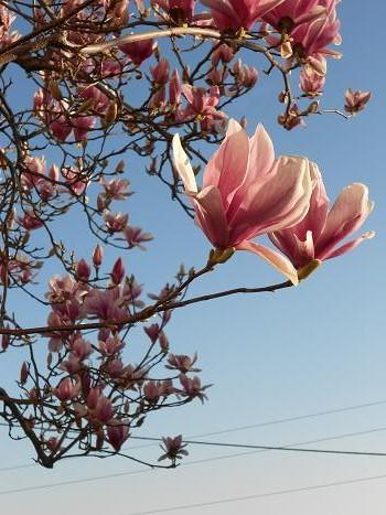 Magnolia  (6)