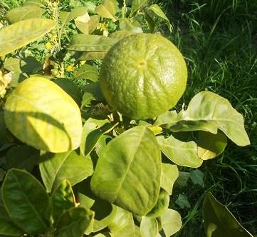 Citrus Aurantium bizzarria