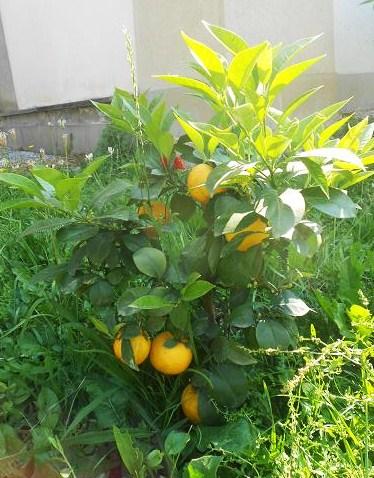 Citrus Aurantium Virgatum (2)