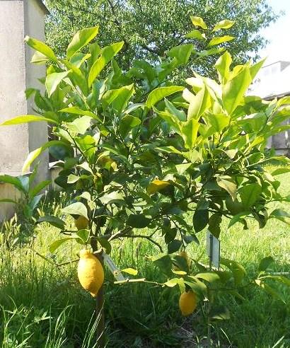Citrus Limon Lunario