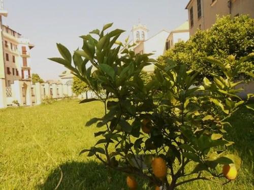 Citrus Limonmedica