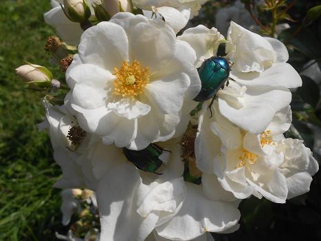 Rose (4)
