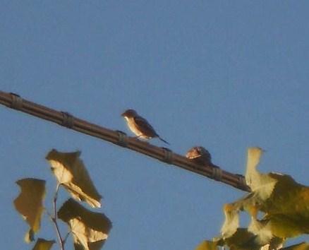Uccellini  (2)