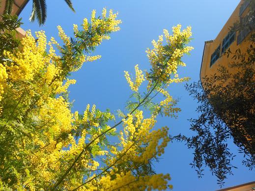 Campopisano Mimosa 10