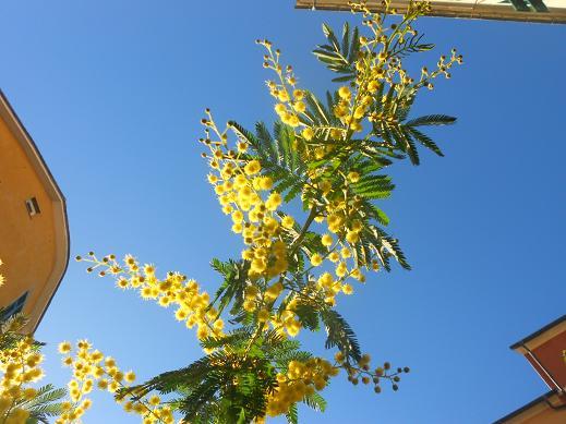 Campopisano Mimosa 11