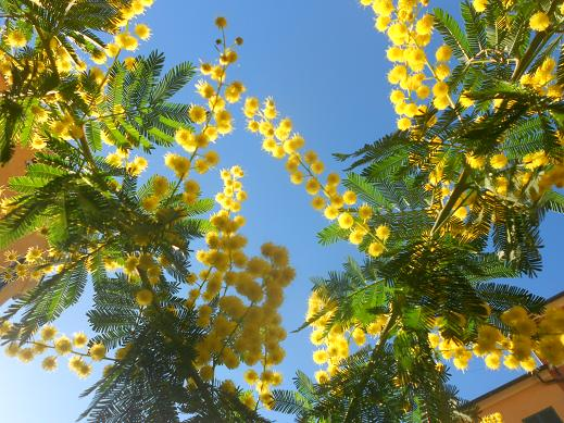 Campopisano Mimosa 18