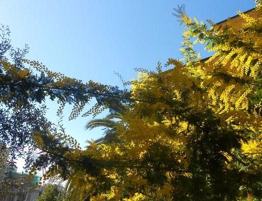 Campopisano Mimosa 20