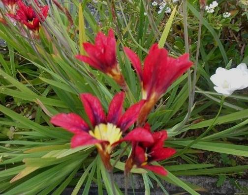 Fiori rossi (4)