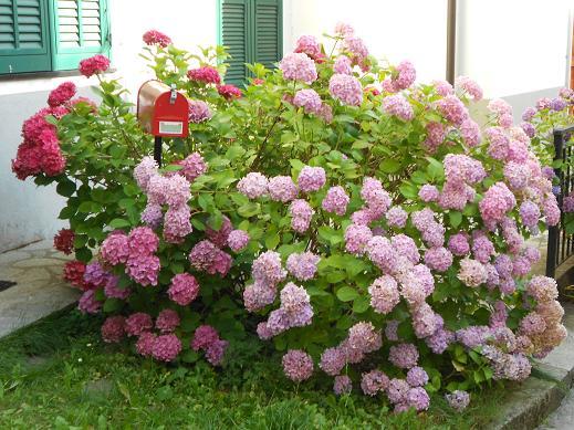 Le ortensie di fontanigorda dear miss fletcher - Ortensie colori ...