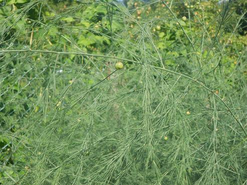 Asparagi (2)