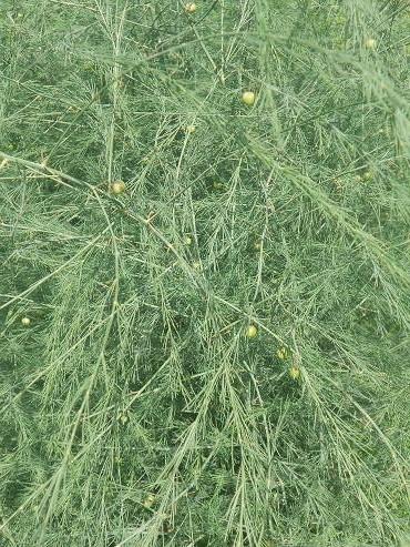 Asparagi (3)
