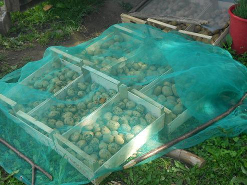 Patate (4)