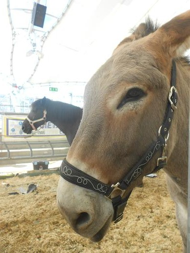 Cavallo Bardigiano (2)