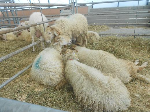 Pecore delle Langhe