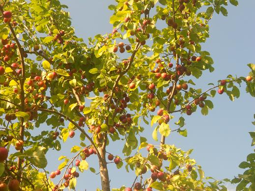 Piante di frutta piante di frutta piante di prugne 5 for Alberi da frutto prezzi