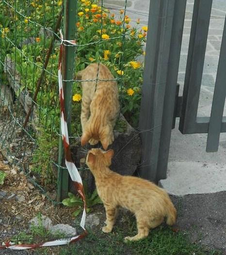 Gatti rossi (2)