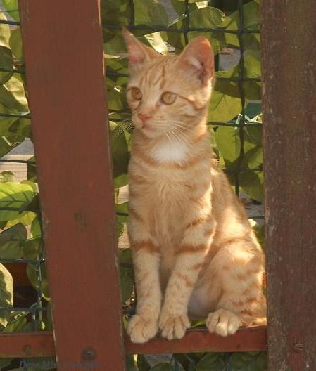 Gatti rossi (4)