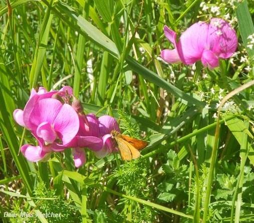 Farfalla (11)