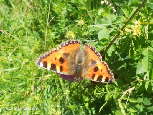Farfalla (12)