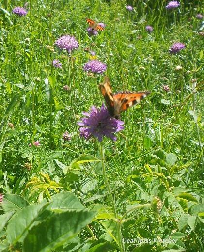 Farfalla (3)