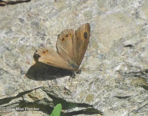 Farfalla (4)