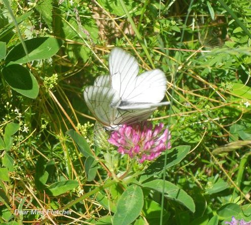 Farfalla (9)