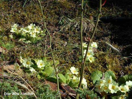 Crochi e primule la primavera e la neve dear miss fletcher for Primule immagini