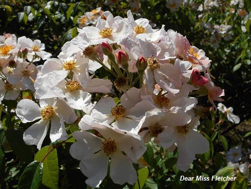 Rose (11)