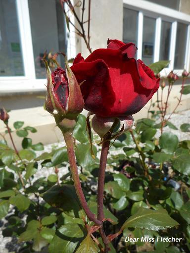 Rose (17)