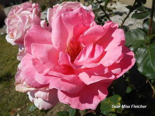 Rose (19)