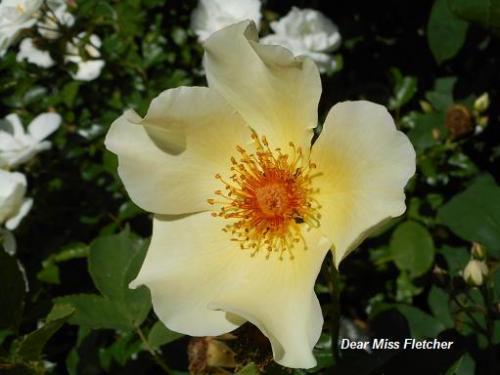 Rose (20)