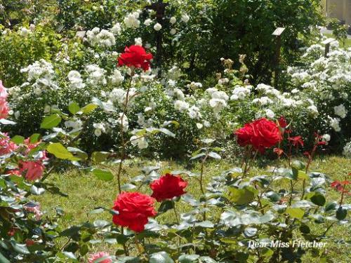 Rose (3)