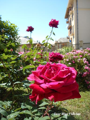Rose (9)