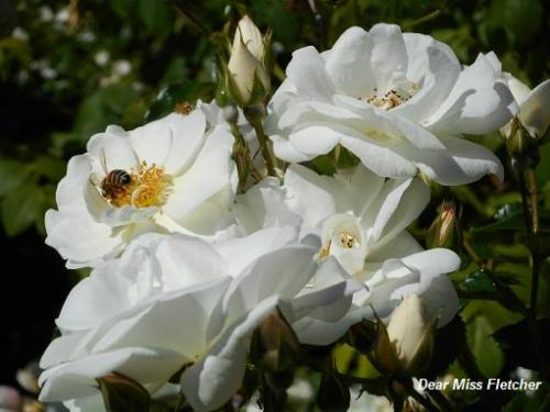 Rose (9a)