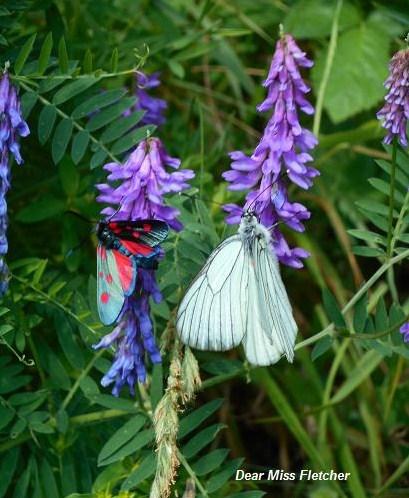 Farfalle (12)