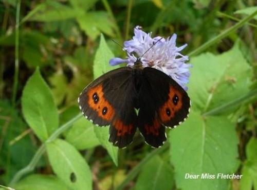 Farfalle (15)