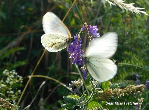 Farfalle (6)