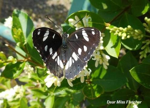 Farfalle (9)