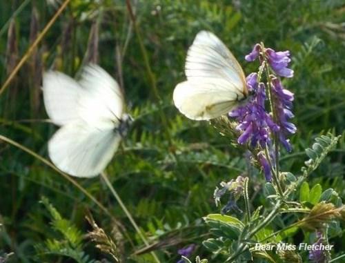 Farfalle(5)