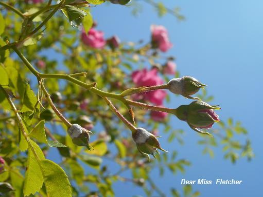 Rose (12)