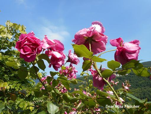 Rose (2)