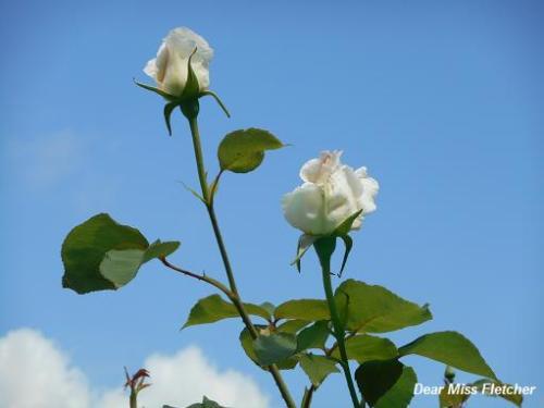 Rose (8)