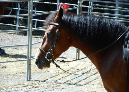 cavalli-3